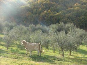 olivi2